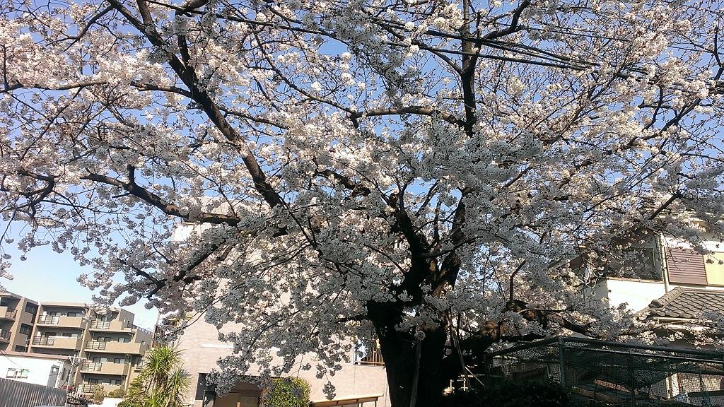 レオパレス ファンタジア近くの桜
