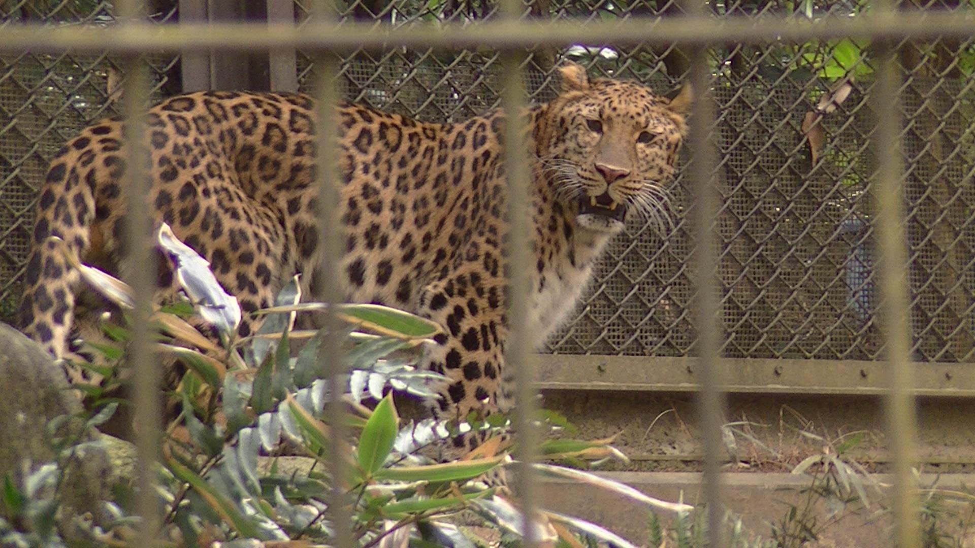 よこはま動物園ズーラシアのヒョウ